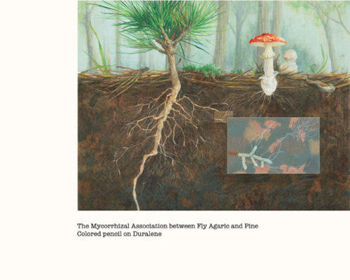 mycology:  mossofthewoods:  The Mycorrhizal Association between Fly Agaric and Pine (by Angela Mele)  She's also on tumblr: http://angelarosemele.tumblr.com/