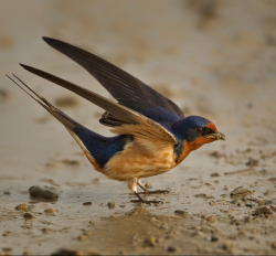 peregrineinastoop:  Barn Swallow by Arlo West  Great shot of the barn swallow, which is listed as threatened in Ontario.