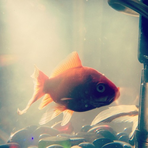 #fish #photography #photo #pet #animal #gold #art
