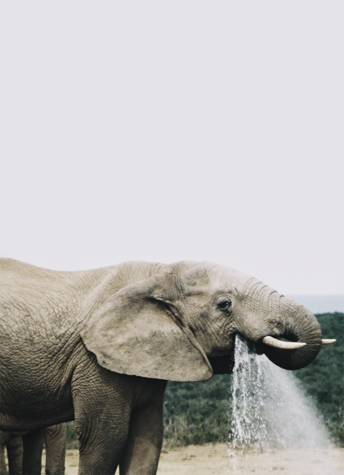 skyfir3:  what a great photo of an elephant :o love it.