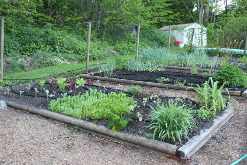 The lettuce bed: day lilies in the corners (I brought them inside the fence and safe from deer) boy choy, arugula, cilantro, lettuce, broccoli, purple cauliflower, mustard greens, camomile, dill, parsley…I'm officially eating salad from the garden again!