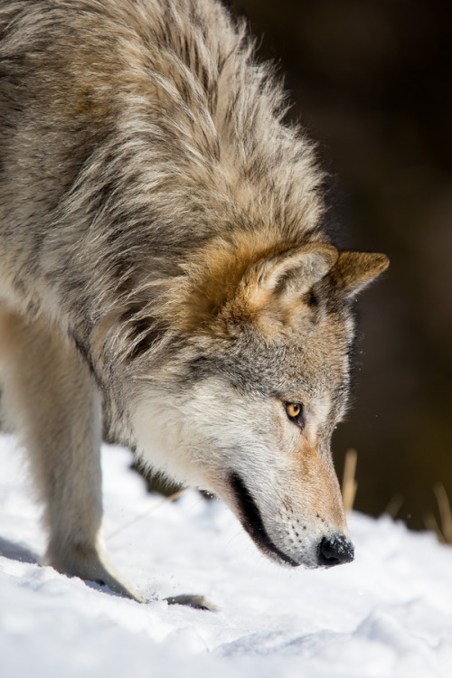 "magicalnaturetour:  ""Grey wolf (canis lupus) tracking down in snow"" by Christophe JOBIC"