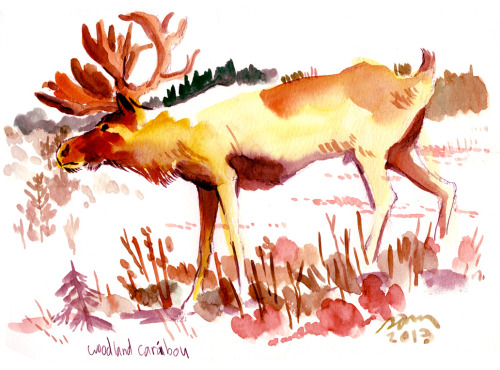 Beautiful light samhiti:  WOODLAND CARIBOU (REINDEER)