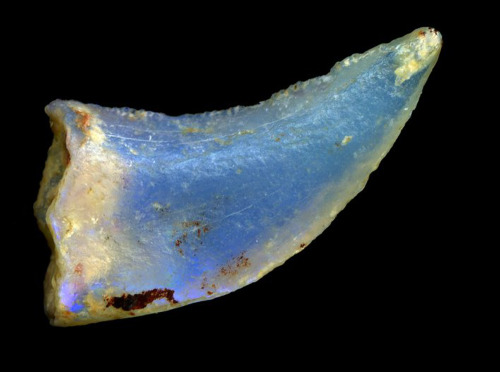 stellar-indulgence:  Opalized Fossils These are no ordinary fossils (if there is such a thing): these incredible relics are made of solid opal, sometimes with rainbows of shimmering color. Australia is the only place on Earth where opalized animal fossils are found. These fossils are of global scientific interest and are among the most beautiful and valuable in the world.  How do opalized fossils form? Opal forms in cavities within rocks. If a cavity has formed because a bone, shell or pine cone was buried in the sand or clay that later became the rock, and conditions are right for opal formation, then the opal forms a fossil replica of the original object that was buried. We get opalized fossils of two kinds:i.       Internal details not preserved: Opal starts as a solution of silica in water. If the silica solution fills an empty space left by a shell, bone etc that has rotted away - like jelly poured into a mould - it may harden to form an opalized cast of the original object. Most opalized shell fossils are 'jelly mould' fossils - the outside shape is beautifully preserved, but the opal inside doesn't record any of the creature's internal structure. ii.      Internal details preserved: If the buried organic material hasn't rotted away and a silica solution soaks into it, when the silica hardens it may form an opal replica of the internal structure of the object. This happens sometimes with wood or bone. Images in this order: Opalized Dinosaur tooth, Ammonite,Shell x2, Dinosaur bone, Wood, Pineapple, Mussel shell, Belemnite. Click on each to view in more detail.
