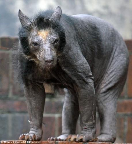 Is this a real-life wolverine? Actually, it's just a shaved bear!