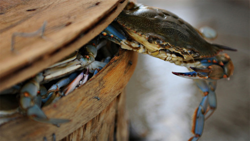 Supersized crabs are bad news for seafood lovers The bigger the crabs, the bigger their appetites for delectable oysters.