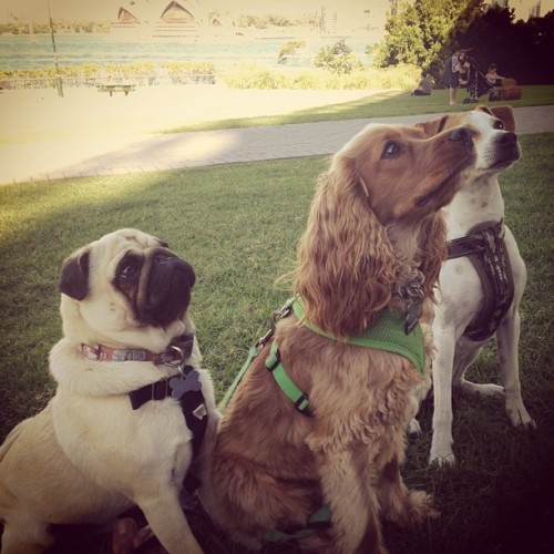 Give us the treatz. #dog #pug #park #cute  (at Bradfield Park)