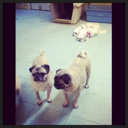 Two sets of twins.  So adorable! #dogs #canines #pugs #bishon  (at The Bark Plaza Pet Hotel)
