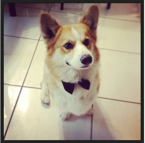 corgiaddict:  Bobby, the handsome corgi with his little bowtie.
