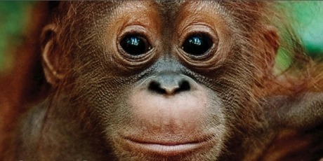 The plan to kill orangutans I live and work in the last place on Earth where endangered orangutans, rhinos, elephants, and tigers still roam together — but it'll be bulldozed to bits unless our President hears our call and steps in to save this unique habitat.  Right now in one of Indonesia's most pristine and untouched forests, a local Governor wants to let mining and palm oil companies move in to decimate areas the size of a million football fields! And the national Forestry Ministry looks like it might let him unless the President steps in to reject this orangutan-killing plan.  We know the President wants to be seen as a keen conservationist, but we need to tell him his green reputation and possible future UN aspirations are on the line to ensure he does the right thing. We need to act fast — sign the urgent petition and tell everyone about this mortal threat to our majestic forest. If a million people sign in the next 3 days, I'll ensure the President hears us!  — Rudi Putra, Indonesia. 2013 winner of Future for Nature award.