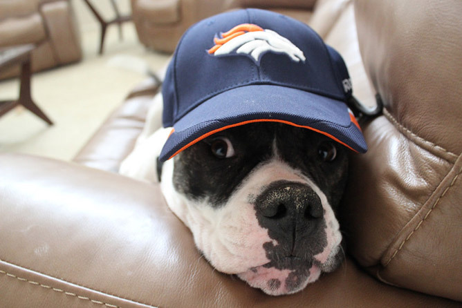 Broncos fans show their colors YOUR PHOTOS: Rocky the Bulldog is ready for the game in his ball cap (submitted by reader Renee C.). Broncos fans are really showing their colors in advance of Denver's playoff game with the Baltimore Ravens Saturday. See the full gallery or submit your own.