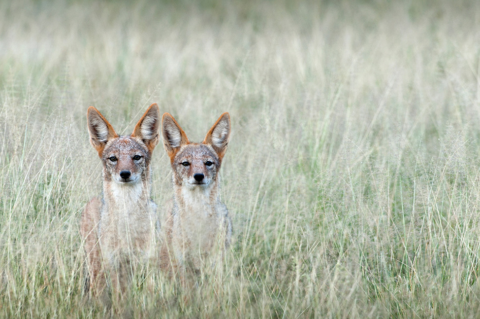 Photo of the Day: Jackals in the Kalahari in South Africa Photo by: Dale Morris (South Africa); Kalahari, South Africa