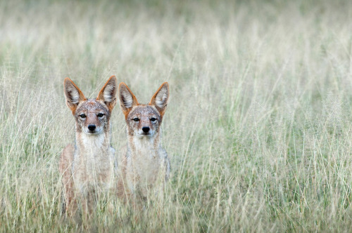 smithsonianmag:  Photo of the Day: Jackals in the Kalahari in South Africa Photo by: Dale Morris (South Africa); Kalahari, South Africa
