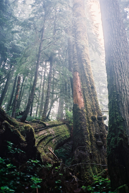 wanderthewood:  Old growth trees, British Columbia, Canada by Sockeyed