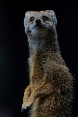 deboracpq:  Yellow Mongoose 2 - London Zoo 01.09.12 by Daysleeper40 on Flickr.