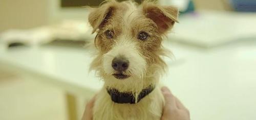 "Cosmo is a canine actor. He is a Jack Russell Terrier that is best known for his roles in the movies Hotel for Dogs and Beginners. He was adopted from a breed rescue society by animal trainer Mathilda DeCagny. Early life and career Cosmo was adopted by dog trainer Mathilda DeCagny from a Jack Russell rescue society in 2007. DeCagny had previously owned and trained other Jack Russell dog actors Mooseand his son Enzo, who had played Eddie in Frasier. DeCagny described Cosmo as being skittish and lacking confidence when she first adopted him, but he was very friendly towards people and very playful. When not appearing in films, Cosmo lives with DeCagny and her family in Venice, California. Whilst on the books of Hollywood pet agency Birds and Animals Unlimited, he made his on screen debut in Hotel for Dogs where he played ""Friday"". Of the seventy dogs hired for the film, including two doubles for his role, he was described as producer Ivan Reitman's favourite. He subsequently appeared in Paul Blart: Mall Cop. In Beginners, his fur was dyed using non-toxic vegetable colouring in order to make him look more similar to Bowser, a dog owned by writer/director Mike Mills as the story was based on Mills' early life. Working with Cosmo inspired actor Ewan McGregor to get a dog of his own. ""I was looking for a replacement for Cosmo because I couldn't stand the idea of not having him around,"" said McGregor, who adopted a poodle mix called Sid. ""I found my dog on the last day of the shoot. He is gorgeous and my little Cosmo replacement. McGregor stated that he takes Sid for walks with DeCagny and Cosmo in Venice on occasion."
