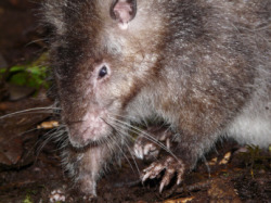 "Rodents of Unusual Size Do Exist | Around The Mallsmithsonianmag.com But­ter­cup and West­ley may have doubt­ed the ROUS' exis­tence in 1987′s The Princess Bride, but the love-stricken pair quick­ly caught on when the ""Rodents of Unusu­al Size"" attacked.A team of sci­en …  R.O.U.S. exist?  Inconceivable! (see esp. http://flip.it/H1eS8)"