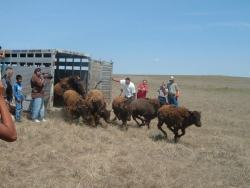 nitanahkohe:  Releasing buffalo back onto the land. The Buffalo Hump Sanctuary is a grassroots organization on the Pine Ridge Reservation based in the community of Slim Butte. The organization is focused on sustainable land-use through the restoration of the sacred tatanka oyate (Buffalo Nation) to Pine Ridge Reservation and the northern plains. [source]