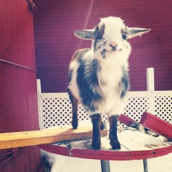 misterstranger:  leadinq:  THIS IS THE HAPPIEST GOAT I HAVE EVER SEEN OMFG JUST LOOK AT ITS FACE  JUST LOOK AT HIS LITTLE GROUND TAPPERS AWW