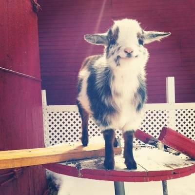 leadinq:  THIS IS THE HAPPIEST GOAT I HAVE EVER SEEN OMFG JUST LOOK AT ITS FACE  c: