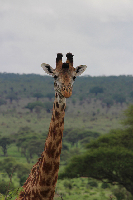 Giraffe by jim.kiss83@yahoo.com on Flickr.