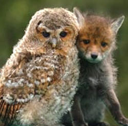 This fox was found cowering behind this owl. It makes one wonder the curious friendships that undergo in the woodland realm.
