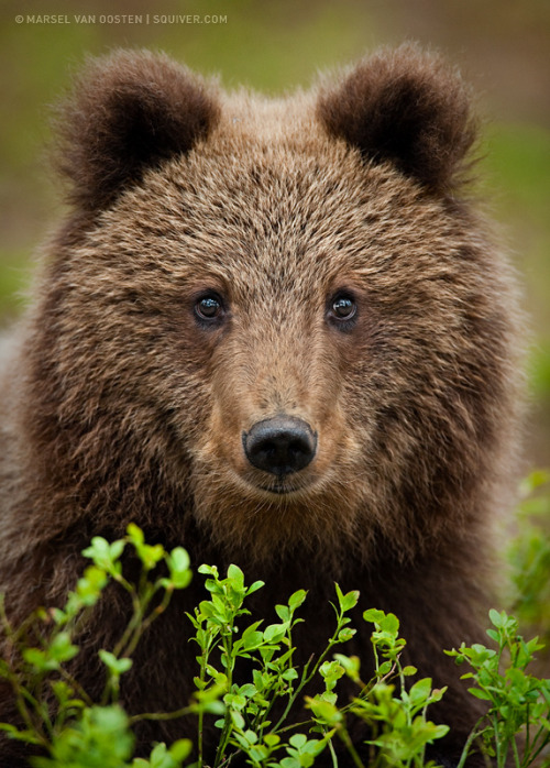 animalkingd0m:  Young Bear by Marsel van Oosten