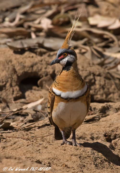 emuwren:  The Spinifex Pigeon (Geophaps plumifera) is found in the Pilbara region of Western Australia.