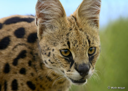 Serval Portrait by Martin_Heigan on Flickr.