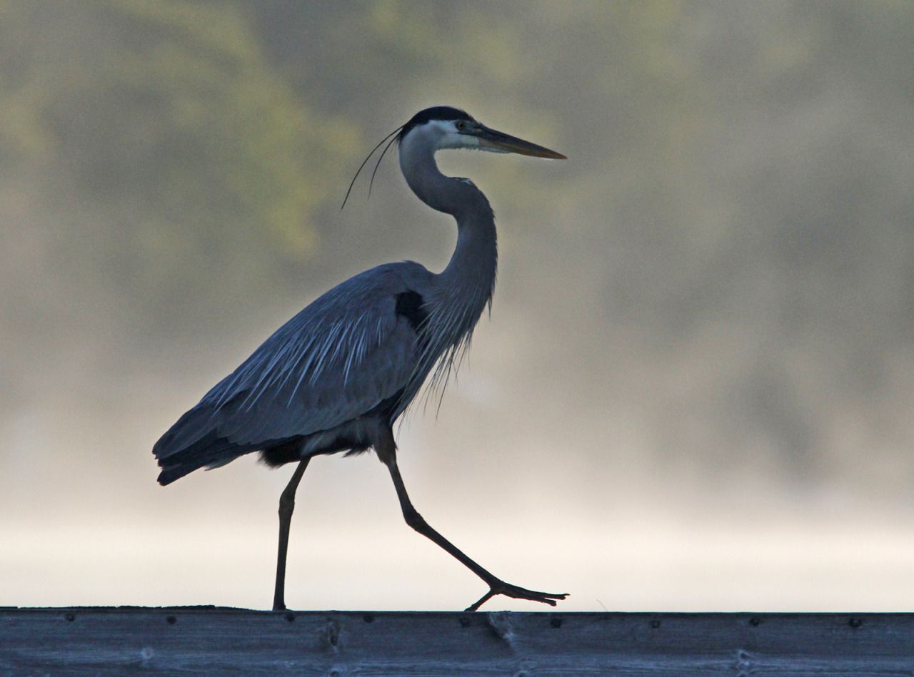 Photo of the Day (http://ncpr.org/photo): Great Blue Heron practicing its runway strut at Lake Ozonia. Photo: Joe Woody