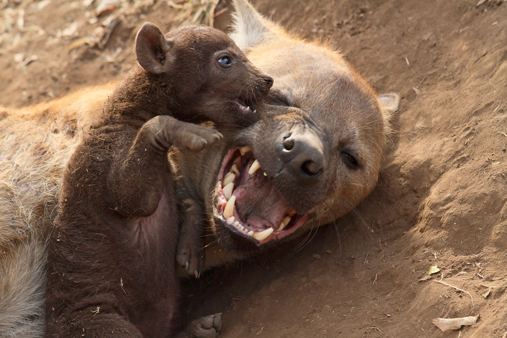 llbwwb:  Spotted Hyena and Baby (by Impisi)   Awwwwe!!!!