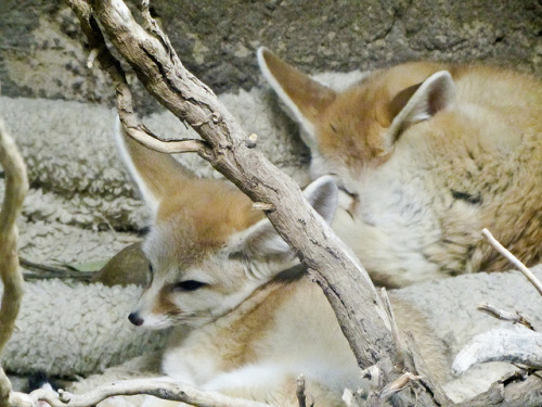 Fennec foxes! by Bolt of Blue on Flickr.