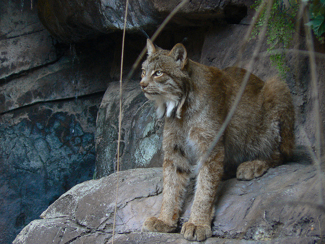 Canadian Lynx on Flickr.Via Flickr: Check out my shop:www.etsy.com/shop/CitySaint Like me on facebook.www.facebook.com/citysaintphoto