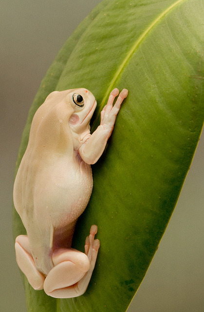 White tree frog by Flickpicpete