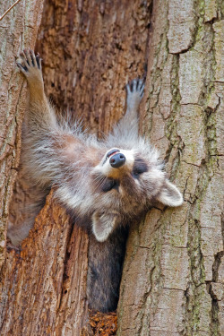 abretumente:  Mother Raccoon Snoozing (por Brian E Kushner)