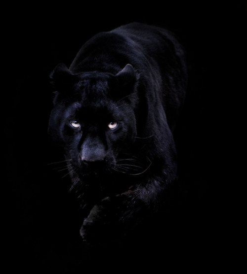 earthandanimals:  Khan the Black Leopard. Photo by Sue Demetriou