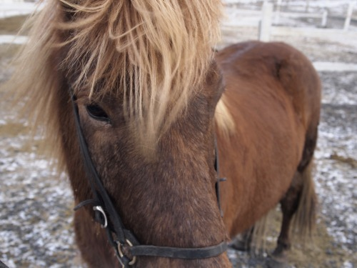 via theanimalblog:  Icelandic horse by Lolla James