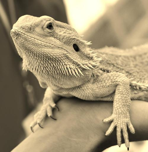 sharma-akash:  Bearded dragon is a common name for lizards belonging to genus Pogona. Native to Australia, they are often found basking on rocks and branches during mornings and afternoons. NYSCI's bearded dragon here in picture loves interacting and is definitely not camera shy.  If you would love to see pictures of our bearded dragon more frequently, like or re-blog this post.   Yes Please!