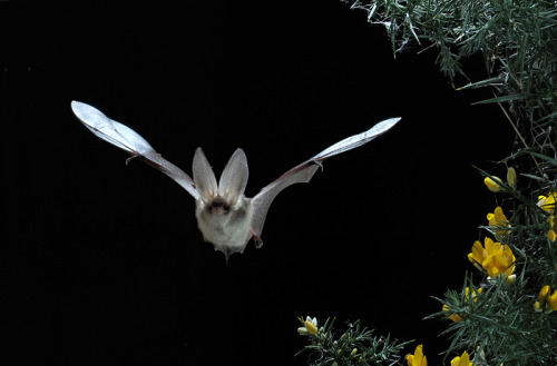 Brown Long-eared Bat - Plecotus auritus (by Andyincheshire)