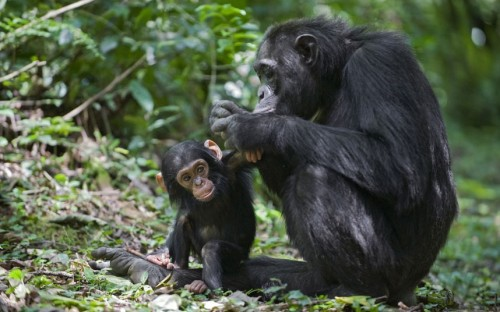 theanimalblog:  Wildlife photographer Suzi Eszterhas photographed a chimpanzee mother grooming her one year old baby in the rainforests of Uganda, Africa.  Picture: Suzi Eszterhas/Minden/ Solent