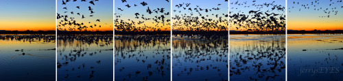 "jerryseyes:  ""Blast Off at Bosque del Apache"" This is  a sextych of the mass take off of snow geese from a pond at Bosque del Apache National Wildlife Preserve near San Antonio NM.  Imaged Nov 2012. It's all over in less than 30 seconds."