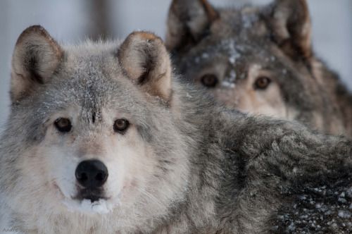 Gray Wolfs (by André@home)