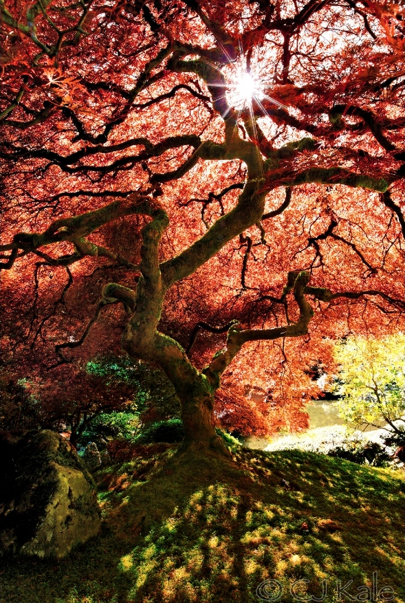 Japanese maple | image by Cj Kale