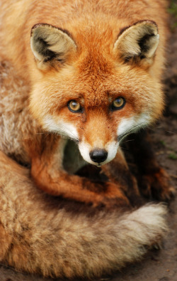 British Red Fox (by Chris Gilligan)
