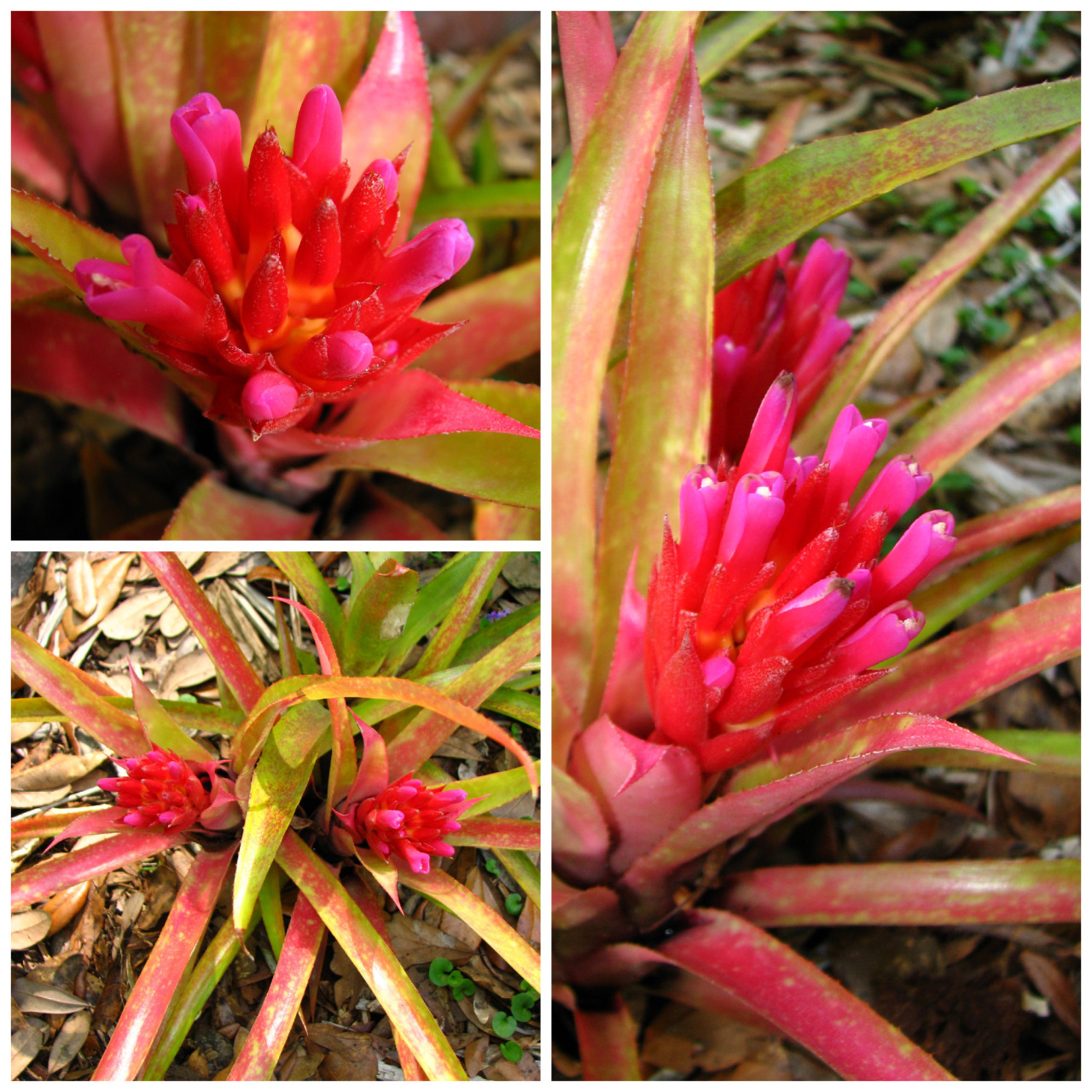 Scientific Name - Aechmea 'Red Dragon' Common Name - NonePlace of Origin - Unknown Status - Not threatened  This is one of my favorite plants, and I think the pictures speak for themselves! However, I'm still going to talk a little bit about this plant.  I couldn't find much info on this plant, but it definitely has Aechmea recurvata in its blood, and is possibly a cultivar of A. recurvata or a hybrid. It has the typical recurvata shape, inflorescence, and blushing characteristic that many of them do.  Very easy to care for, they take full to part sun, tolerate my cold weather with ease. They flower in early spring and stand out in the garden, despite their small size. An individual plant is around 6 to 8 inches tall, and maybe 4 to 6 inches wide when grown hard.