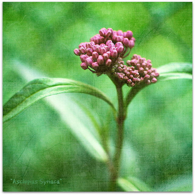 "Got milk(weed). on Flickr. … a.k.a. asclepias syriaca - this is a much tinier variety than what I often find along the river with those ""sugary buds"". Alas, it's no longer in my garden because it was constantly covered with yellow aphids and anyone in their right mind knows that yellow and pink just don't go. Absent again, I know but it's unavoidable and for a reason I would not wish on anyone. I'll be back eventually. I miss y'all much. xo"