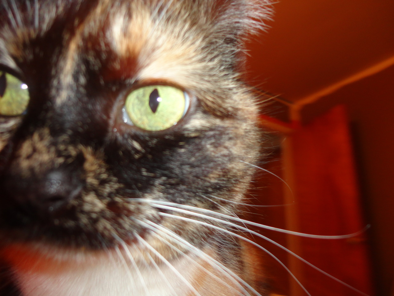 "California ""Callie"" Pickles Up Close and Purr-sonal"