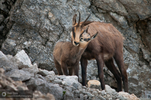 animals-animals-animals:  Chamois (by Dan Dinu)