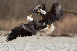 diálogos-de-águilas-aaron-baggenstos-audubon