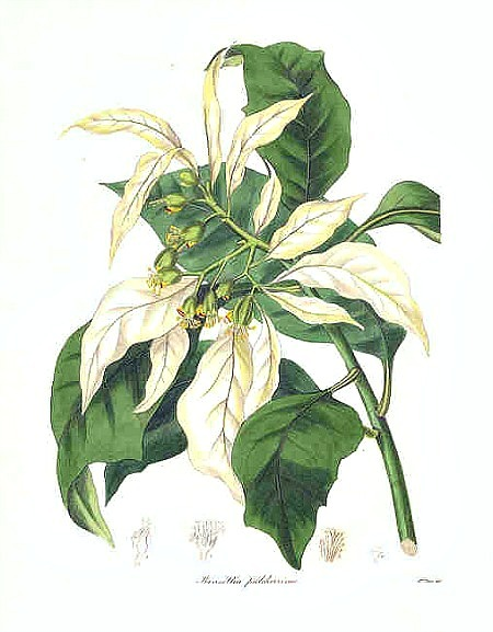 The Botanist Magazine Showy Poinsettia (Poinsettia Pulcherrima) 1842